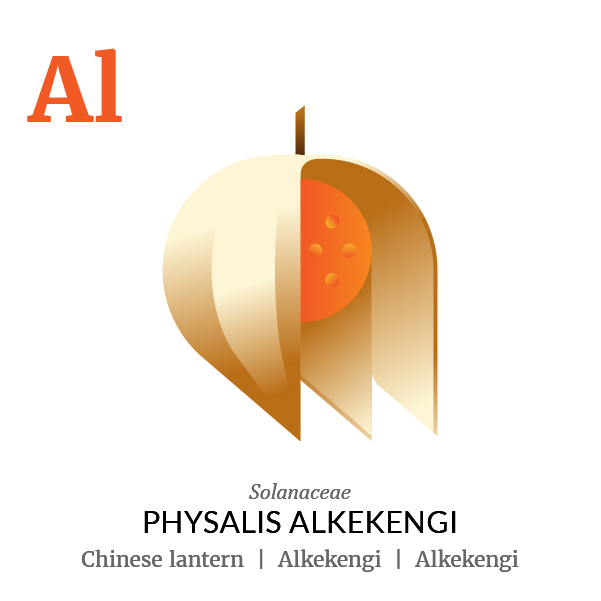 Chinese lantern Alkekengi fruit icon, family, species and names, illustration by Francesco Faggiano, project by Isleta Design Studio