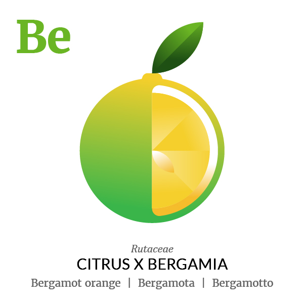 Bergamot orange fruit icon, family, species and names, illustration by Francesco Faggiano, project by Isleta Design Studio