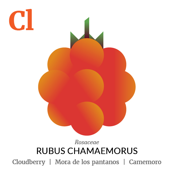 Cloudberry fruit icon, family, species and names, illustration by Francesco Faggiano, project by Isleta Design Studio