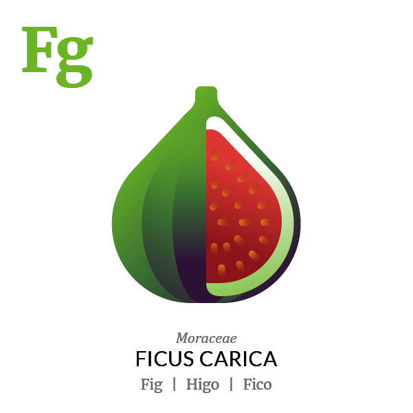 Fig fruit icon, family, species and names, illustration by Francesco Faggiano, project by Isleta Design Studio