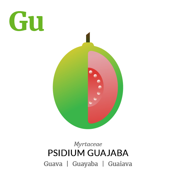 Guava Guayaba fruit icon, family, species and names, illustration by Francesco Faggiano, project by Isleta Design Studio