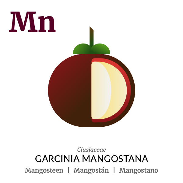 Mangosteen fruit icon, family, species and names, illustration by Francesco Faggiano, project by Isleta Design Studio