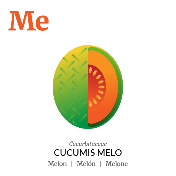 Melon fruit icon, family, species and names, illustration by Francesco Faggiano, project by Isleta Design Studio