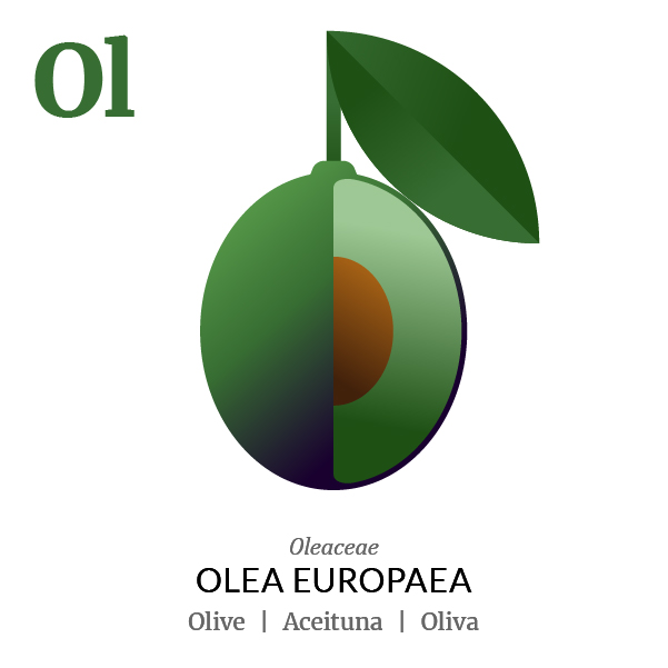 Olive fruit icon, family, species and names, illustration by Francesco Faggiano, project by Isleta Design Studio