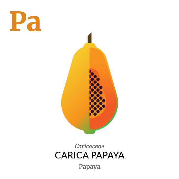 Papaya fruit icon, family, species and names, illustration by Francesco Faggiano, project by Isleta Design Studio