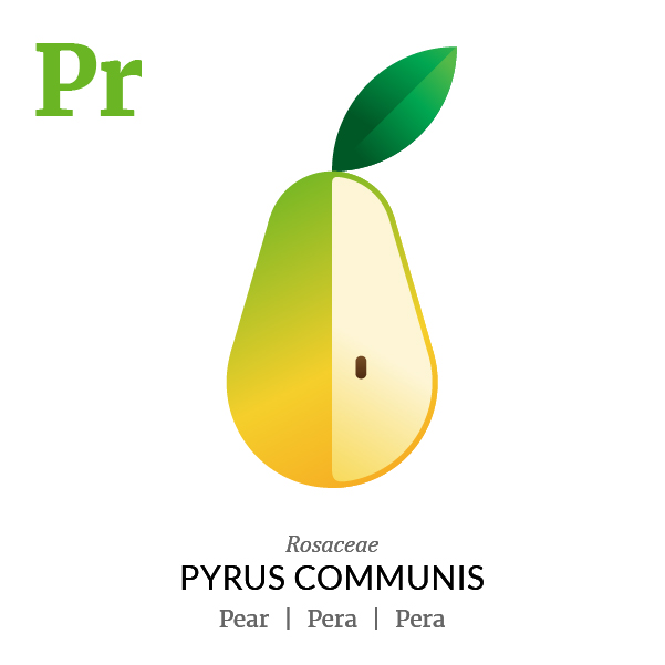 Pear fruit icon, family, species and names, illustration by Francesco Faggiano, project by Isleta Design Studio