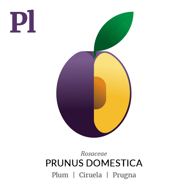 Plum fruit icon, family, species and names, illustration by Francesco Faggiano, project by Isleta Design Studio