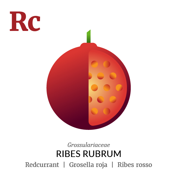 Redcurrant fruit icon, family, species and names, illustration by Francesco Faggiano, project by Isleta Design Studio