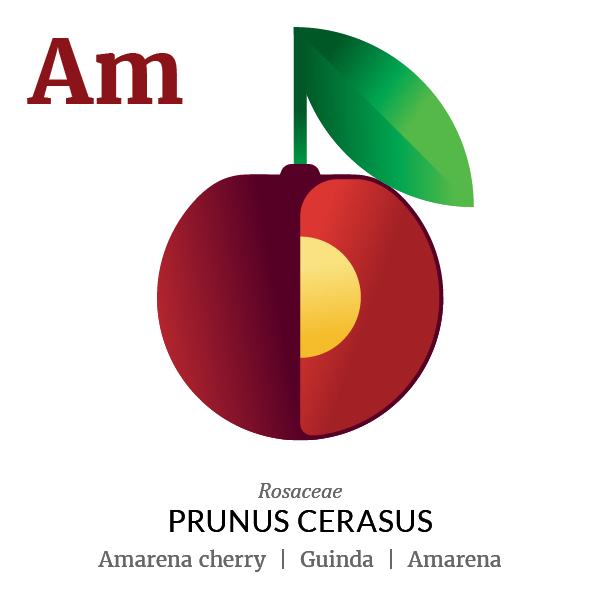 Amarena cherry fruit icon, family, species and names, illustration by Francesco Faggiano, project by Isleta Design Studio