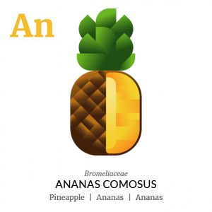 Ananas fruit icon, family, species and names, illustration by Francesco Faggiano, project by Isleta Design Studio