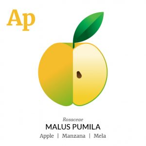 Apple fruit icon, family, species and names, illustration by Francesco Faggiano, project by Isleta Design Studio