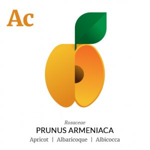 Apricot fruit icon, family, species and names, illustration by Francesco Faggiano, project by Isleta Design Studio