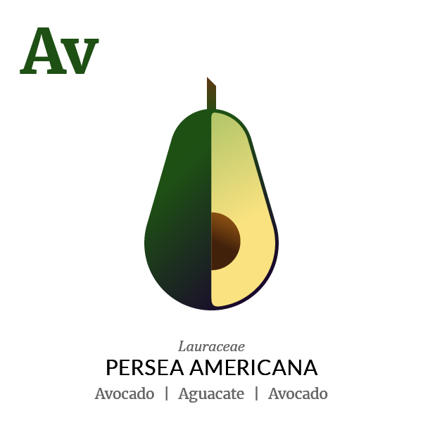 Avocado Aguacate fruit icon, family, species and names, illustration by Francesco Faggiano, project by Isleta Design Studio