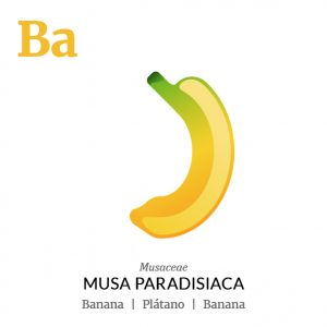 Banana fruit icon, family, species and names, illustration by Francesco Faggiano, project by Isleta Design Studio
