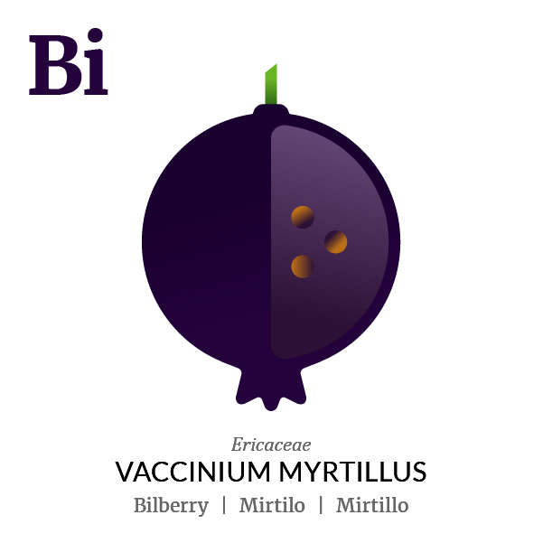 Bilberry fruit icon, family, species and names, illustration by Francesco Faggiano, project by Isleta Design Studio
