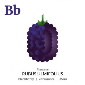 Blackberry fruit icon, family, species and names, illustration by Francesco Faggiano, project by Isleta Design Studio