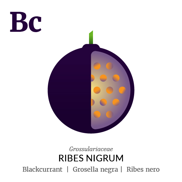 Blackcurrant fruit icon, family, species and names, illustration by Francesco Faggiano, project by Isleta Design Studio