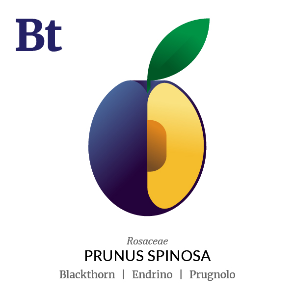Blackthorn fruit icon, family, species and names, illustration by Francesco Faggiano, project by Isleta Design Studio