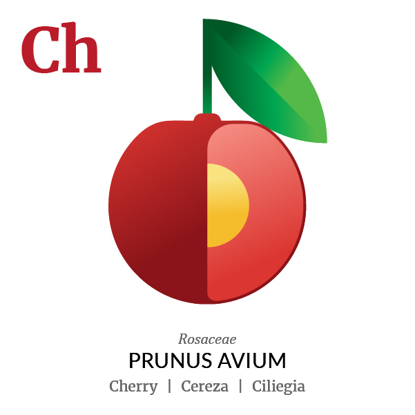 Cherry fruit icon, family, species and names, illustration by Francesco Faggiano, project by Isleta Design Studio