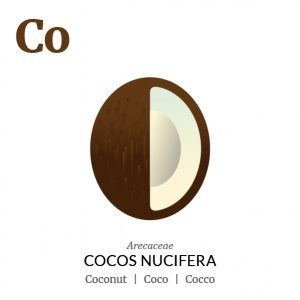 Coconut Coco fruit icon, family, species and names, illustration by Francesco Faggiano, project by Isleta Design Studio