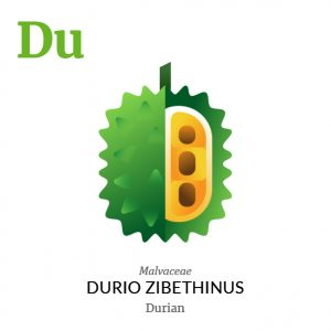 Durian fruit icon, family, species and names, illustration by Francesco Faggiano, project by Isleta Design Studio