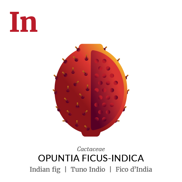 Indian fig fruit icon, family, species and names, illustration by Francesco Faggiano, project by Isleta Design Studio