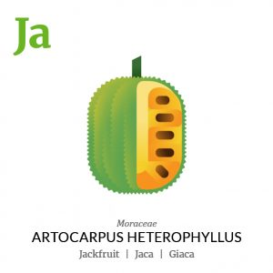 Jackfruit Jaca fruit icon, family, species and names, illustration by Francesco Faggiano, project by Isleta Design Studio