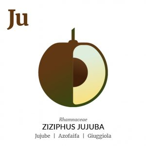 Jujube fruit icon, family, species and names, illustration by Francesco Faggiano, project by Isleta Design Studio