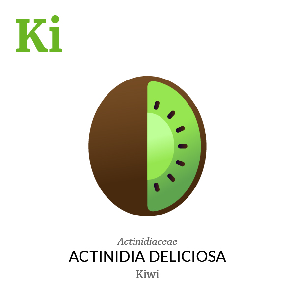 Kiwifruit Kiwi fruit icon, family, species and names, illustration by Francesco Faggiano, project by Isleta Design Studio