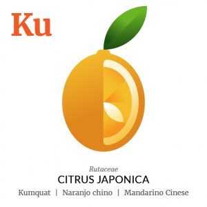 Kumquat Chinese mandarin fruit icon, family, species and names, illustration by Francesco Faggiano, project by Isleta Design Studio