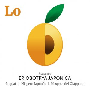 Loquat Japanese medlar fruit icon, family, species and names, illustration by Francesco Faggiano, project by Isleta Design Studio