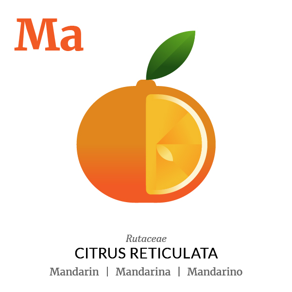 Mandarin fruit icon, family, species and names, illustration by Francesco Faggiano, project by Isleta Design Studio