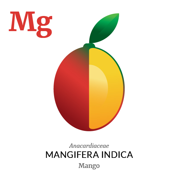 Mango fruit icon, family, species and names, illustration by Francesco Faggiano, project by Isleta Design Studio