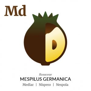 Medlar fruit icon, family, species and names, illustration by Francesco Faggiano, project by Isleta Design Studio
