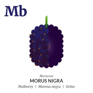 Mulberry fruit icon, family, species and names, illustration by Francesco Faggiano, project by Isleta Design Studio