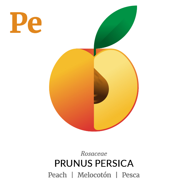 Peach fruit icon, family, species and names, illustration by Francesco Faggiano, project by Isleta Design Studio
