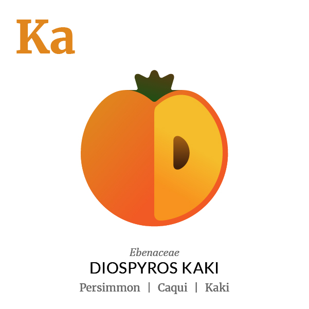 Persimmon Kaki fruit icon, family, species and names, illustration by Francesco Faggiano, project by Isleta Design Studio