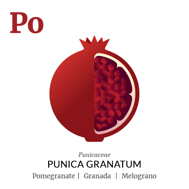 Pomegranate fruit icon, family, species and names, illustration by Francesco Faggiano, project by Isleta Design Studio