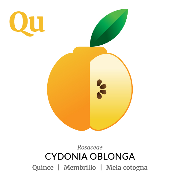 Quince fruit icon, family, species and names, illustration by Francesco Faggiano, project by Isleta Design Studio
