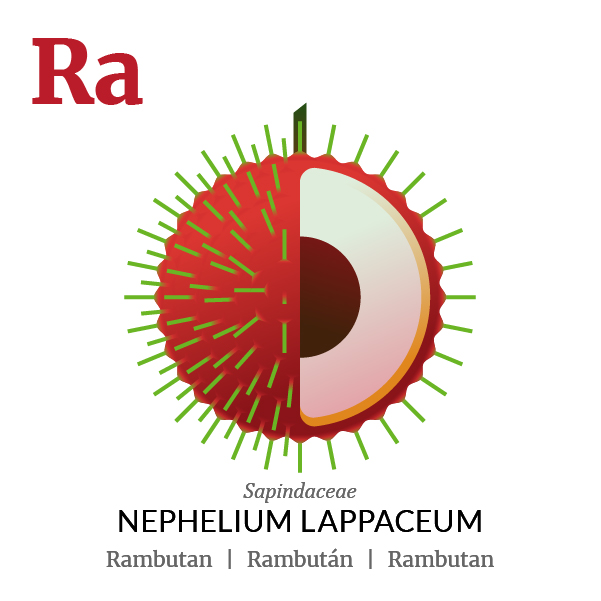 Rambutan fruit icon, family, species and names, illustration by Francesco Faggiano, project by Isleta Design Studio