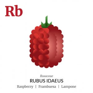 Raspberry fruit icon, family, species and names, illustration by Francesco Faggiano, project by Isleta Design Studio