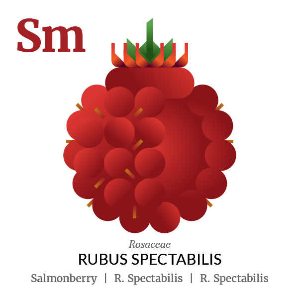 Salmonberry fruit icon, family, species and names, illustration by Francesco Faggiano, project by Isleta Design Studio