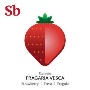 Strawberry fruit icon, family, species and names, illustration by Francesco Faggiano, project by Isleta Design Studio