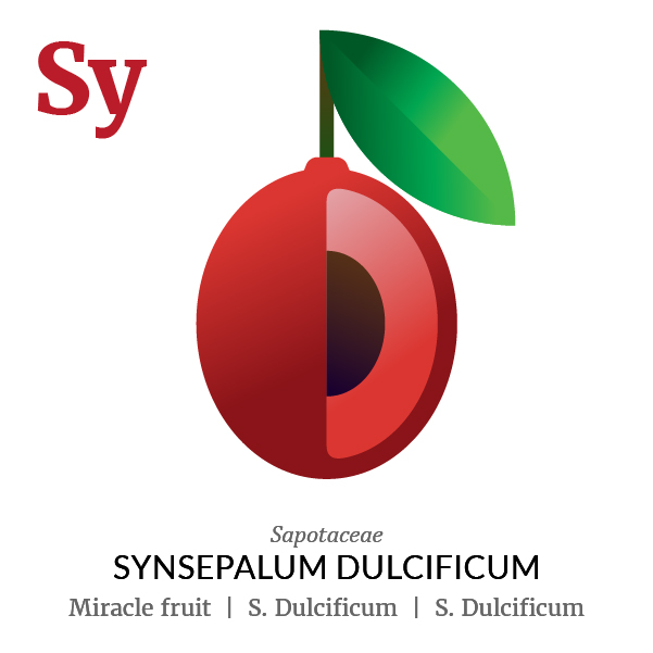 Miracle fruit Synsepalum Dulcificum fruit icon, family, species and names, illustration by Francesco Faggiano, project by Isleta Design Studio