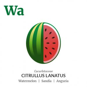 Watermelon fruit icon, family, species and names, illustration by Francesco Faggiano, project by Isleta Design Studio