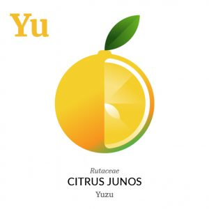 Yuzu fruit icon, family, species and names, illustration by Francesco Faggiano, project by Isleta Design Studio